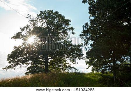 pine tree and sunburst through burr oak tree on the prairie in chaska minnesota