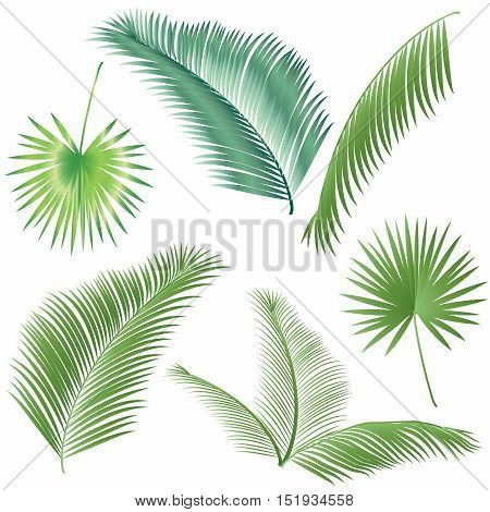 Palm tree leaves set. Isolated on white background. Vector illustration. Tropical palm leaves set. Exotic palm leaf. Sukkot