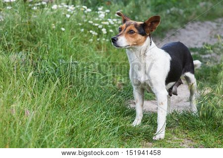 Mongrel dog small walking in a meadow