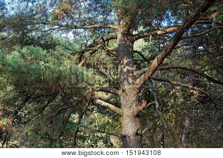 Old pine on the Curonian Spit. Russia