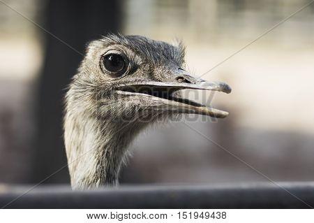 Animal portrait of emu bird on gray background.