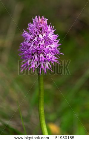 Naked Man Orchid Flowers Stem - Orchis Italica