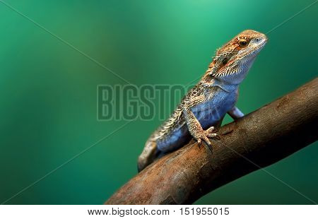 Lizard in wildlife sitting on tree branch at tropical island over green background