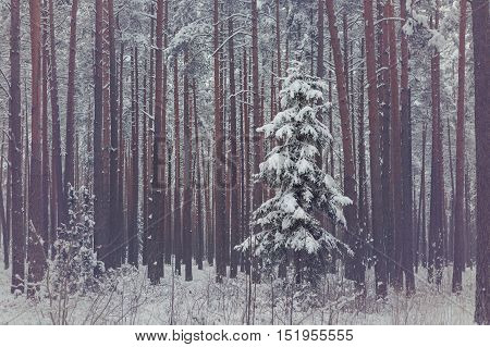 Lonely spruce in snowy coniferous forest. Winter season. Outdoor shot.