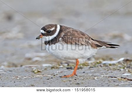 Common ringed plover (Charadrius hiaticula) in its habitat with mud on its beak