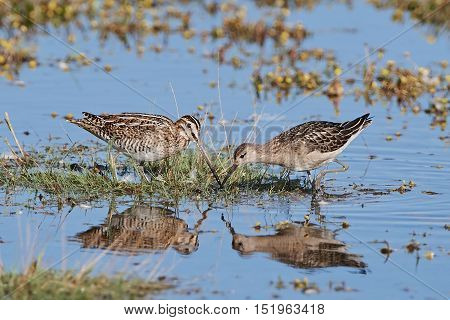 Common snipe and Ruff looking for food in their habitat