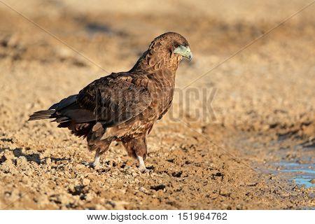 Bateleur eagle (Terathopius ecaudatus) at a waterhole, Kalahari desert, South Africa