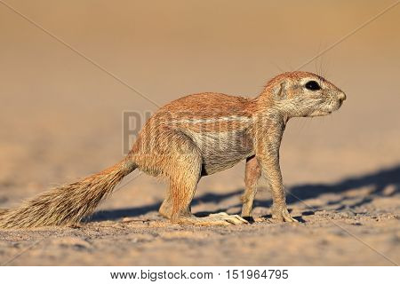 An alert ground squirrel (Xerus inaurus), Kalahari desert, South Africa