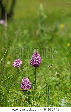 Pyramidal Orchid Plants On A Green Field – Anacamptis Pyramidalis