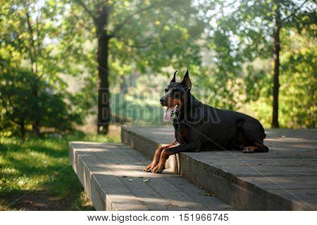 Doberman dog beautiful pet walking in a summer park