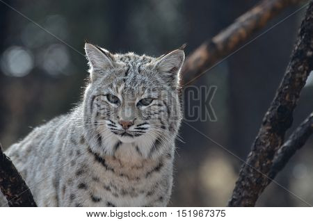 Amazing closeup face of a bobcat in the wild