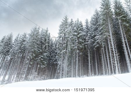 Atmospheric winter forest landscape with cloudy sky and haze