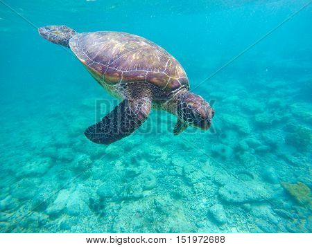Sea turtle in blue water. Green sea turtle diving in coral reef. Sea tortoise. Green turtle swims in sea. Snorkeling with turtle in lagoon. Aquatic image for banner template or poster with text place