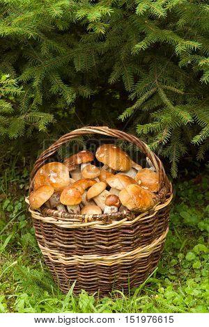 Edible Mushroom In Forest. Fresh Edible Mushrooms In Wicker Basket Under Fir Tree In Autumn Forest Close Up. Mushrooms In Basket: Porcini And Orange-Cap Boletus.