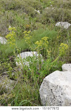 Thompson's Spurge - Euphorbia thompsonii Endemic to Central and Western Cyprus and Southwestern Turkey