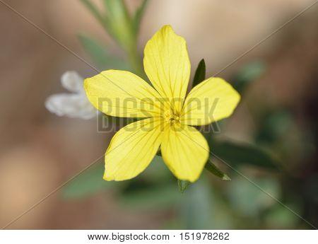 Linum nodiflorum Yellow Flax Flower from Cyprus