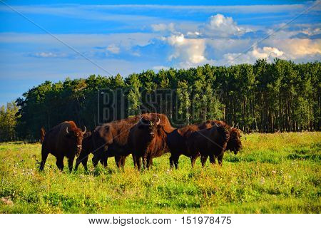 Wildlife, a few bison looking to us in the field of Canada