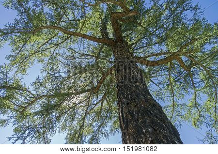 Crown of a Siberian larch on a background of blue sky. Altai Mountains Russia. Sunny summer day.