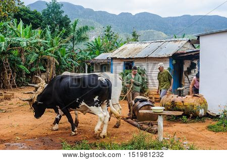 VINALES, CUBA - MARCH 19, 2016: Men working with animals in a farm in the Vinales Valley in Cuba