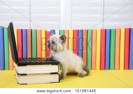Tiny Siamese kitten with blue eyes sitting at a miniature laptop computer stacked on books with books in background. Looking at computer screen. One paw on computer