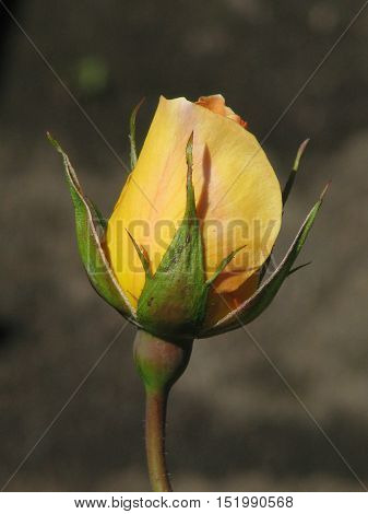 Yellow Rose, With Dark Back Ground 11sse