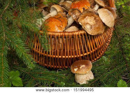 Fresh Edible Small Mushroom Porcini Near Wicker Basket With Mushrooms Under Fir Tree Outdoor Autumn Close Up. Mushrooms In Basket: Brown Cap Boletus (Leccinum Scabrum) Orange-Cap Boletus And Porcini.