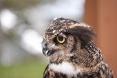 A close-up shot of the head and neck of a Great Horned Owl in profile. poster