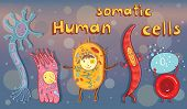 Vector cartoon illustration for study in school. Human somatic cells: neuron erythrocyte epithelial cell muscle cell. poster