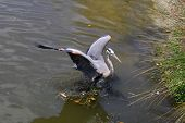Great blue heron landing in water with wings spread poster