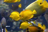 Yellow Salt Water Tropical Fish in Aquarium Tank poster