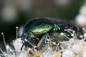 Green Chafer beetle on a white flower. Cetonia aurata extreme macro closeup shot. poster