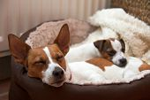 Two Jack Russell terriers one a puppy asleep in their comfortable bed in a family home. poster