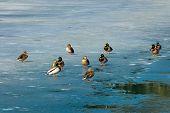 A group of male and female mallard ducks on the frozen lake of Fusine (Lago di Fusine) at the end of winter. Julian Alps Tarvisio Friuli Venezia Giulia Italy poster
