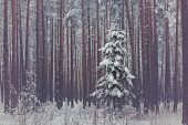 Lonely spruce in snowy coniferous forest. Winter season. Outdoor shot. poster
