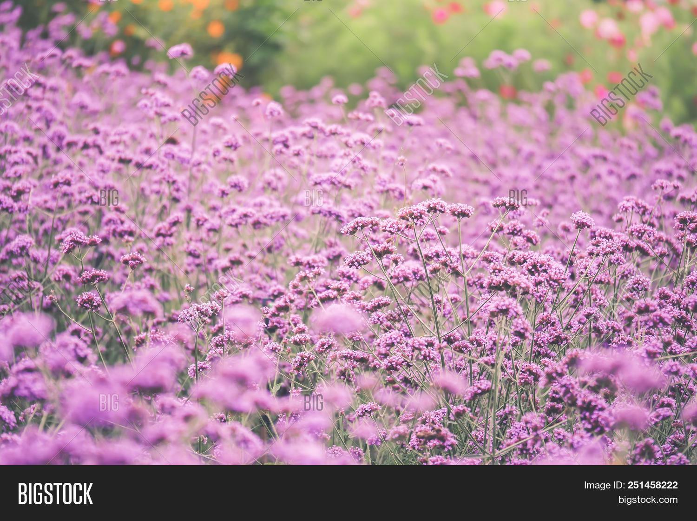 Verbena Bonariensis Image Photo Free Trial Bigstock