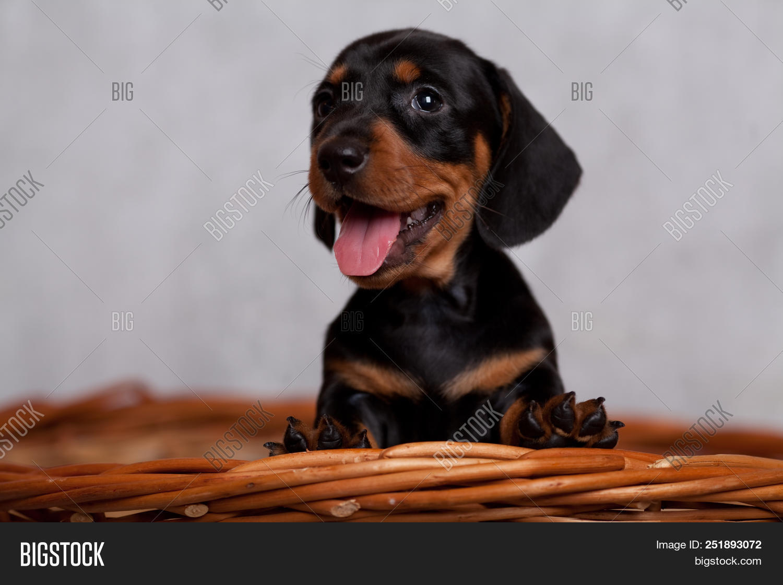Cute Dachshund Puppy Image Photo Free Trial Bigstock