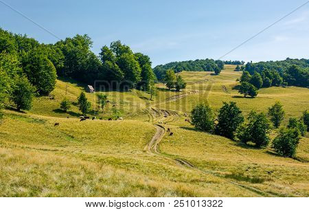 Country Road Uphill Into The Beech Forest. Cattle Of Cow Grazing Near The Shed. Lovely Summer Scener