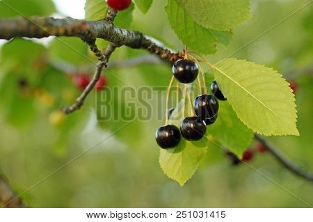 Shiny Juicy Berries Of Wild Cherries On A Brunch With Green Leaves. Black Bittersweet Berries