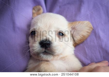 Cute Little Puppy Lying On Back And Looking At Camera