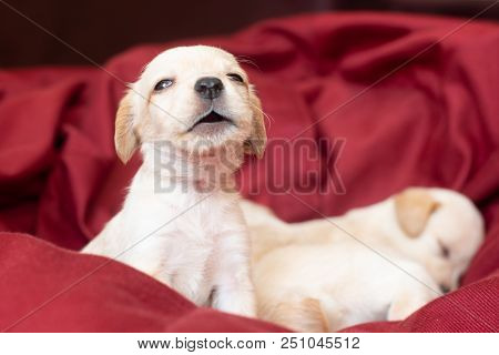 Cute Little Puppy Sing Song When Other Sleep On Background
