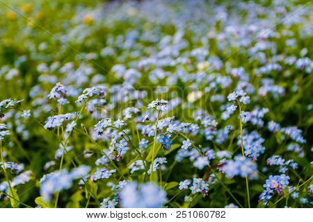 Forget-me-nots In Bloom In Green Field Background. Summer Flowers