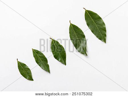 Isolated Bay Leaf. Laurel  Leaves On A White Background. Bayleaf. Laurel Lea.