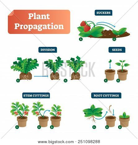 Plant Propagation Vector Illustration Diagram. Scheme With Labels On Suckers, Division, Seeds, Stem