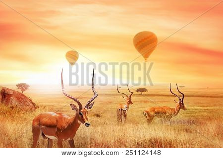 Group Of African Antelopes (eudorcas Thomsonii) In The African Savanna Against A Beautiful Sunset An