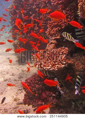 Underwater Photo, A View Of The Corals, Twobar Seabream And Anthias Fish In The Red Sea In Israel