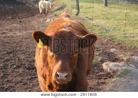 Img_0244Brown Cow