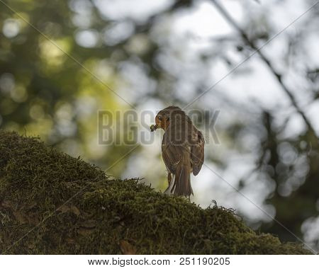 Wildlife And Nature, A Closeup Image Of A Robin Red Breast Bird Standing On Tree In Woodland Surroun