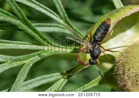Amphophilic Amphophil Wasps. Close-up Photo, Summer Russia