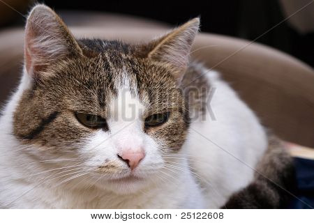 Portrait of white and brown coloured cat lying on chair