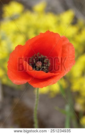 Flowers Red Poppies Blossom On Wild Field.  Red Poppies In Soft Light. Natural Drugs. Glade Red Popp